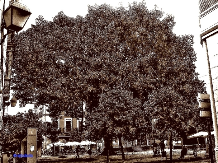 Ficus_35New