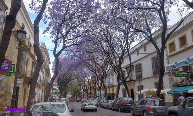jacarandas-porvera_lzn